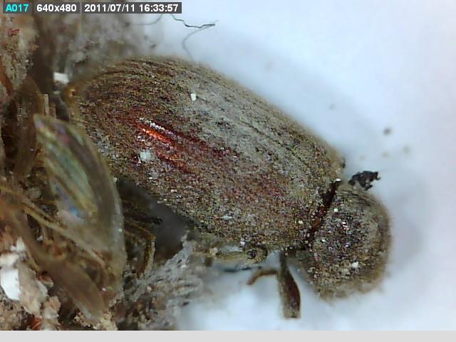 Identificació microscòpica d'insectes i fongs xilòfags