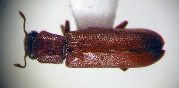 Forma adulta de lyctusbrunneus