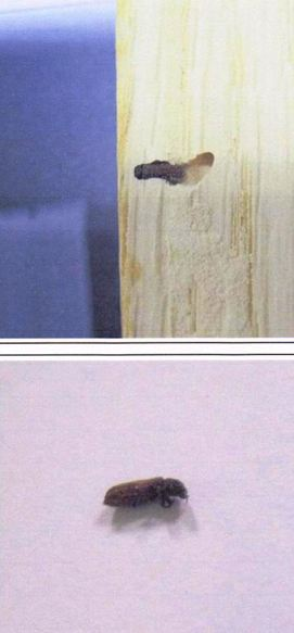 Forma adulto de líctido en una de las probetas Cortesía de Tecnalia